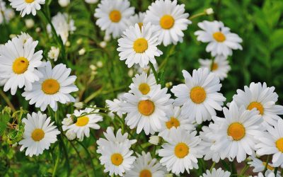 Blossom Daisies