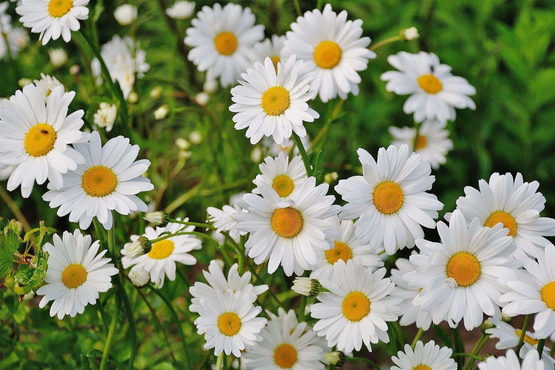 Blossom Daisies
